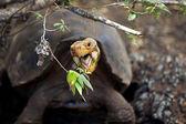 A Galapagos tortoise — Stock Photo