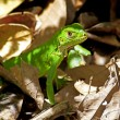 Stock Photo: Juvenile Green Iguana