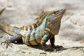 Black spiny-tailed Iguana — Stock Photo
