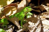 Juvenil yeşil iguana — Stok fotoğraf