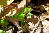 Juvenile Green Iguana — Stock Photo
