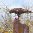Galapagos Hawk on Santa Fe — Stock Photo