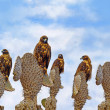 Galapagos Hawks on Santa Fe - Stock Photo