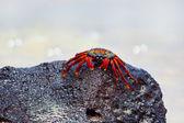 Sally lightfoot crab on Galapagos — Foto Stock
