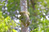 Three-toed Sloth — Stock Photo