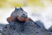 Galapagos deniz iguana — Stok fotoğraf