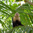 Stock Photo: White faced Capuchin