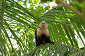 White faced Capuchin — Stock Photo