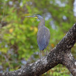 Bare-throated Tiger Heron — Stock Photo