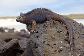 Galapagos marine Iguana — Stock Photo