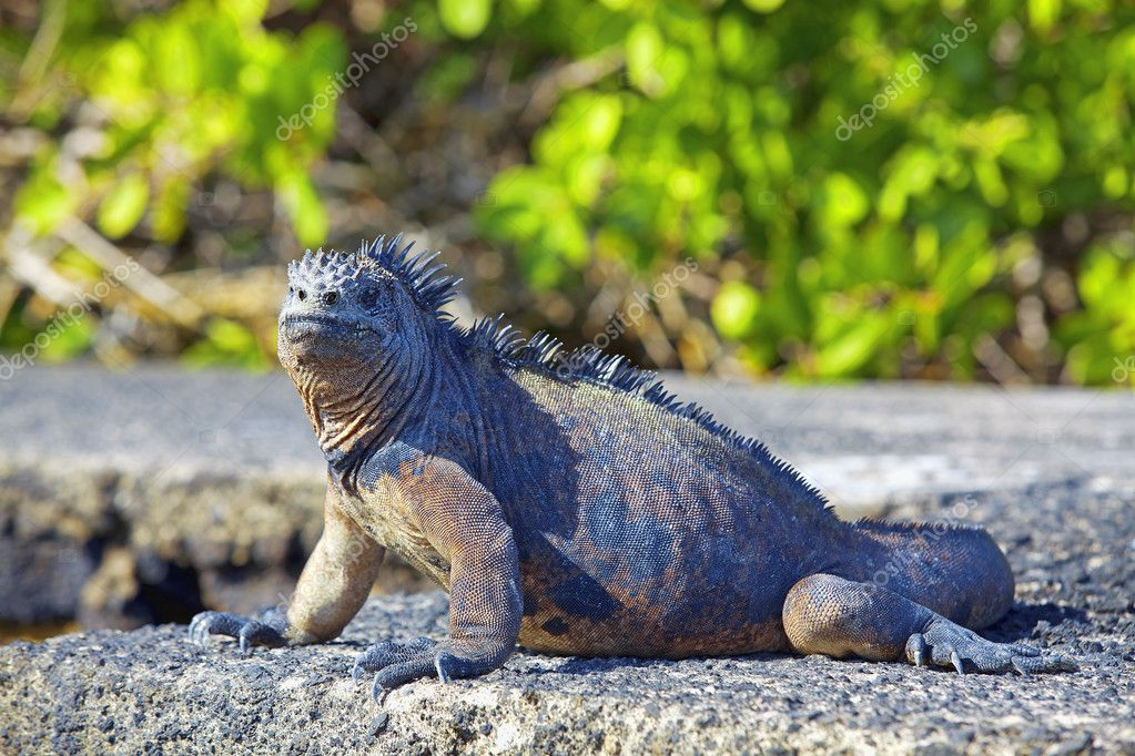 Portrait of a Marine Iguana on Galapagos — Stock Photo #9174913