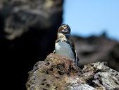 Pinguim de Galápagos — Fotografia Stock
