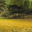 Golden carpet of ginkgo leaves — Stock Photo