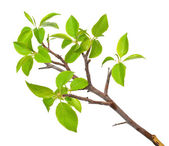 Branch apple tree with spring buds isolated on white — Stock Photo