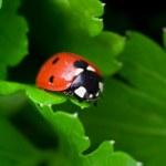 Ladybug — Stock Photo #8759224
