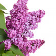 Fresh spring lilac branch — Stock Photo