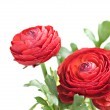 Red ranunculus — Stock Photo