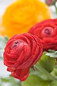 Ranunculus colorido — Foto de Stock