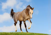 Arab horse in field — Stock Photo