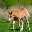Foal in field - Stockfoto