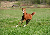 Foal running — Stock Photo