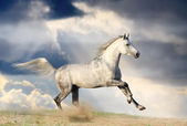 Stallion in dust — Stock Photo