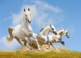 White horses — Stock Photo