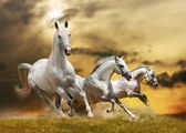 White horses — Stock Photo