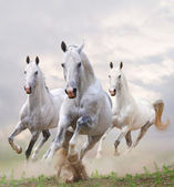 White horses in dust — Stock Photo