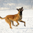 Malinois dog runs — Stock Photo
