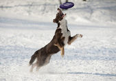 Dog catches disk — Stock Photo