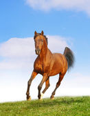 Bay arab stallion — Stock Photo