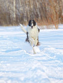 Russian wolfhound running — Stock Photo