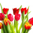 Foto Stock: Tulip flowers