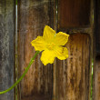 Yellow flower on grunge background — Stock Photo