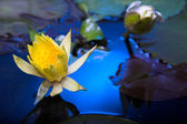 Water lily flowers — Stock Photo