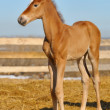 Newborn Sorrel foal - only 5 days — Stock Photo