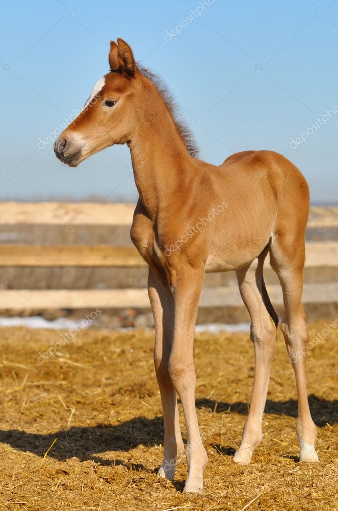 Newborn Sorrel foal walks in a shelter — Stock Photo #8947669