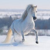 Galloping white horse — Stock Photo