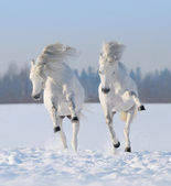 Two galloping snow-white horses — Stock Photo