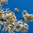 Cherry tree blossoms — Stock Photo