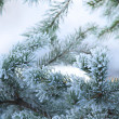 Pine tree in winter closeup — Stock Photo