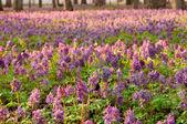First spring flowers — Stockfoto