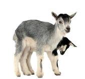 Goat isolated — Stock Photo