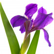 Iris flower isolated - Stock Photo