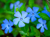 Periwinkle — Stock Photo