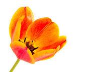 Yellow tulip isolated — Stock Photo