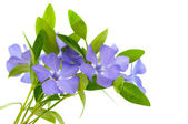 Periwinkle flower isolated — 图库照片