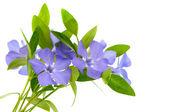 分離されたツルニチニチソウの花 — ストック写真