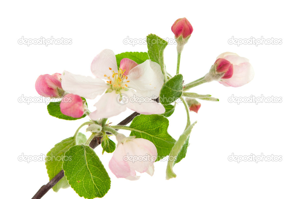 Apple blossom isolated on white  Stock Photo #10381889